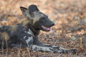 African wild dog, South Luangwa