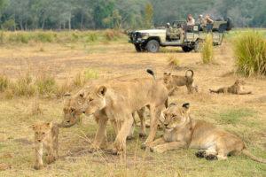 Chiawa camp lions game drive