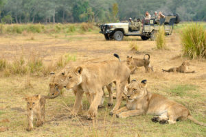 Chiawa camp lions game drive