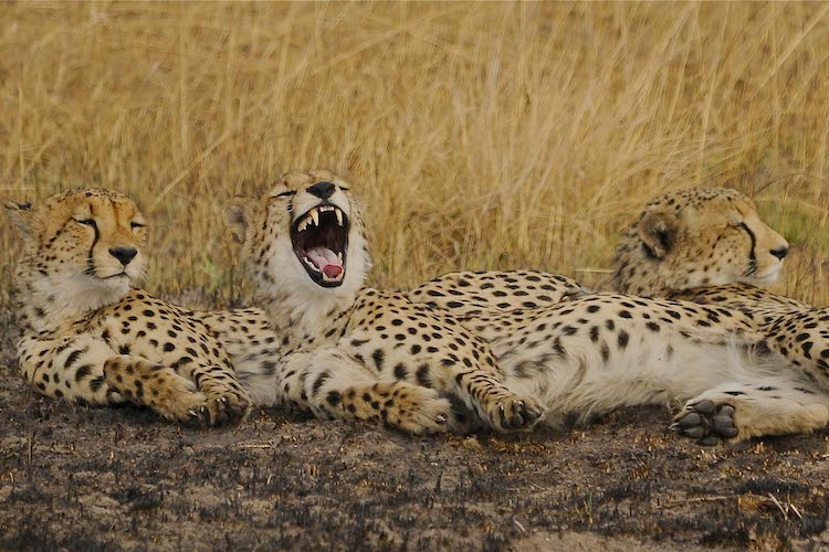 Cheetahs, Kafue National Park