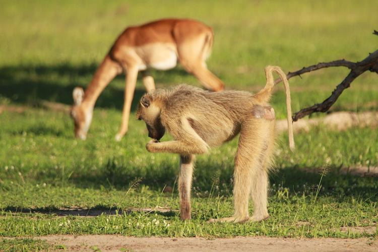 impala and monkey, South Luangwa National Park