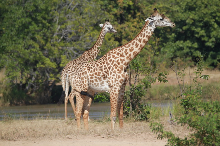 giraffe, south luangwa