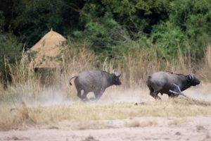 Buffalo at Kuyenda