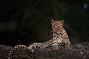 Leopard, South Luangwa