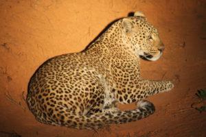 Leopard, Nyika Plateau