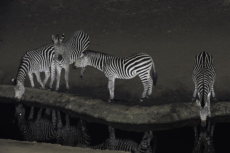 Zebras at Majete, Malawi