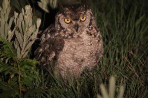 Spotted Eagle Owl, Nyika Plateau, Malawi