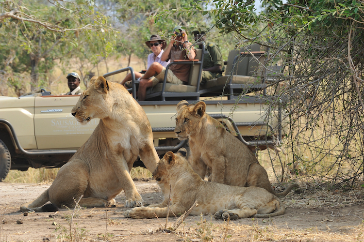 Potato bushcamp Activity - Game Drive with Lion