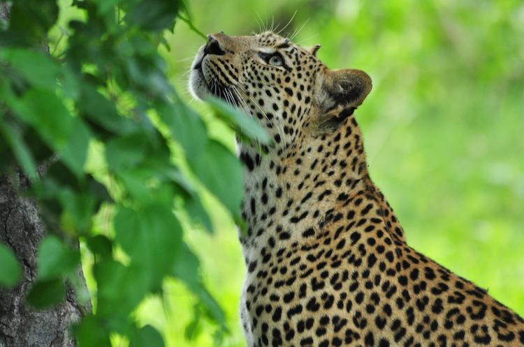 Africa; Zambia; South Luangwa National Park; Sanctuary Puku Ridge Camp