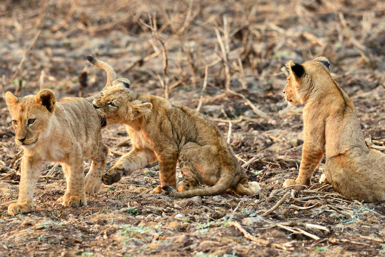 Lion cubs Lower Zambezi NP