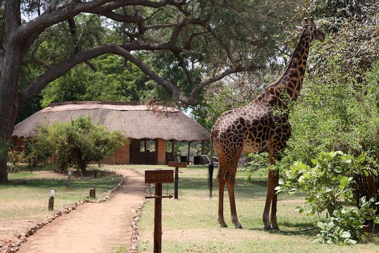 giraffe at track and trail