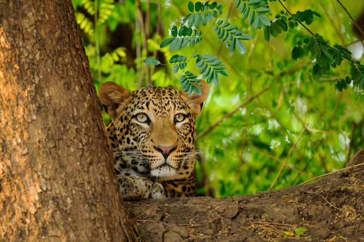 leopard lower zambezi national park