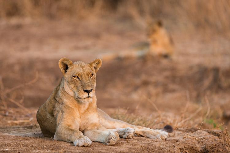 lion, south luangwa national park