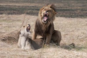Lions mating, Kafue National Park