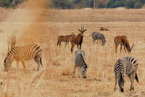 Wildlife, South Luangwa national park