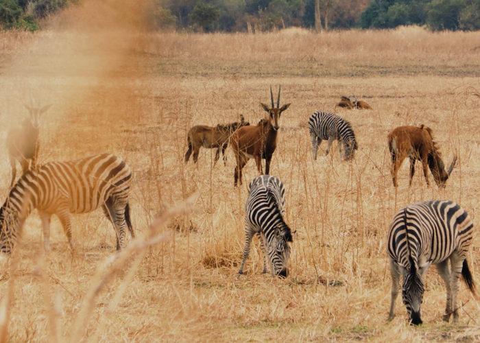 safaris-expensive-blog-south-luangwa-safaris-zebras-wildlife