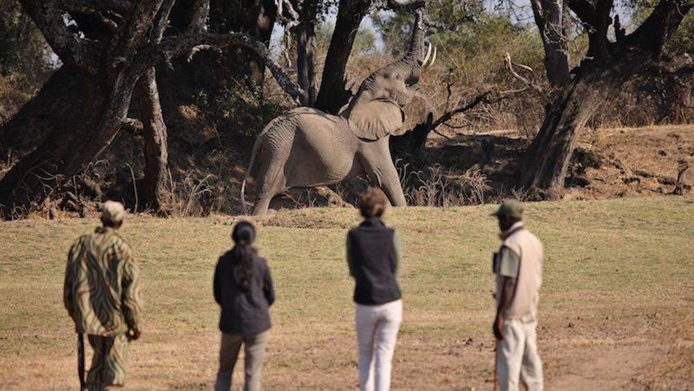 walking safaris, south luangwa