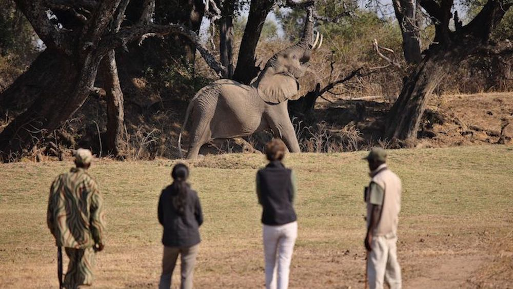 walking safaris, south luangwa