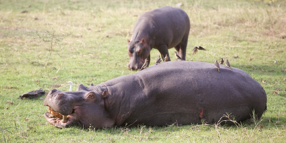 hippos, south luangwa