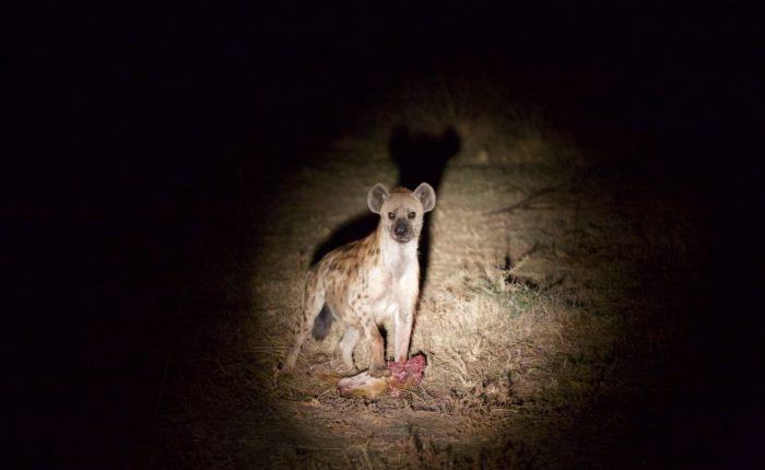 hyena at night, south luangwa
