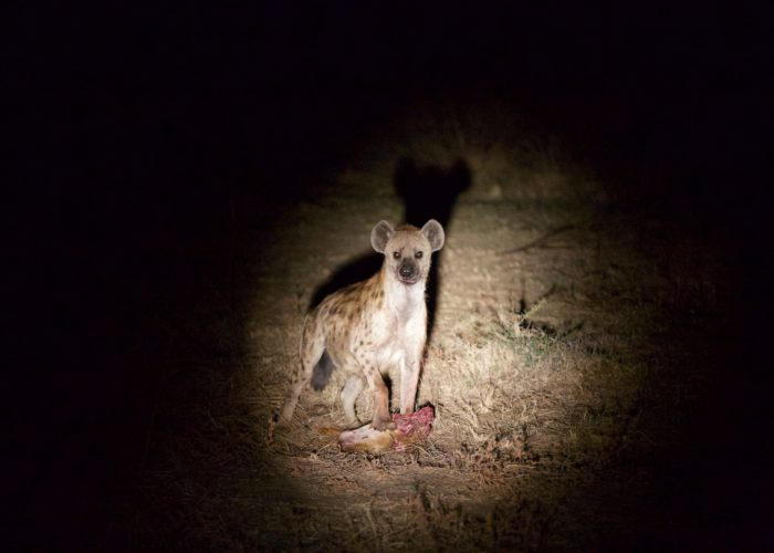 hyena at night, south luangwa