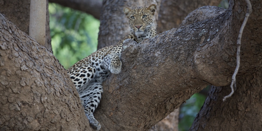 leopard in a tree, south luangwa