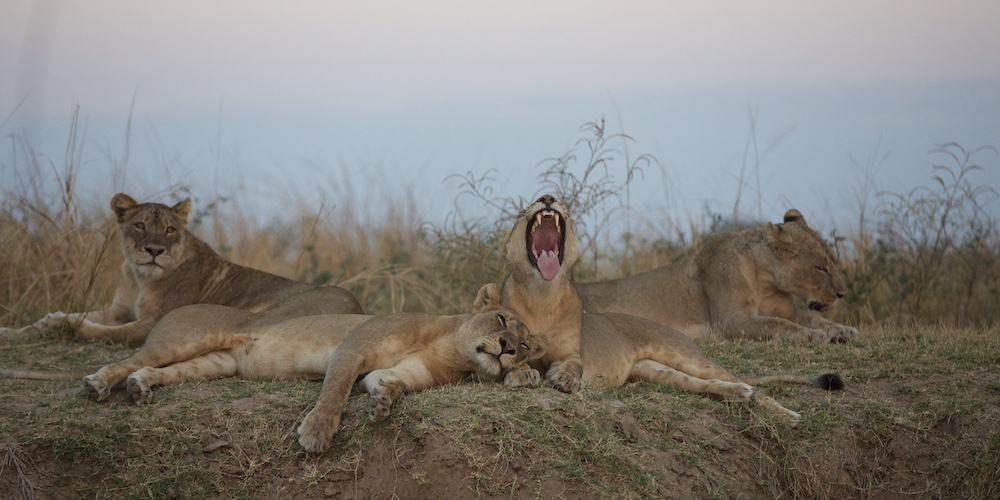 lions, south luangwa