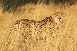 Cheetah at Hwange