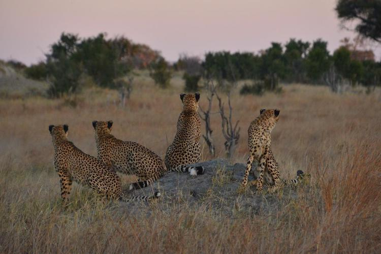 Cheetah at Hwange national park