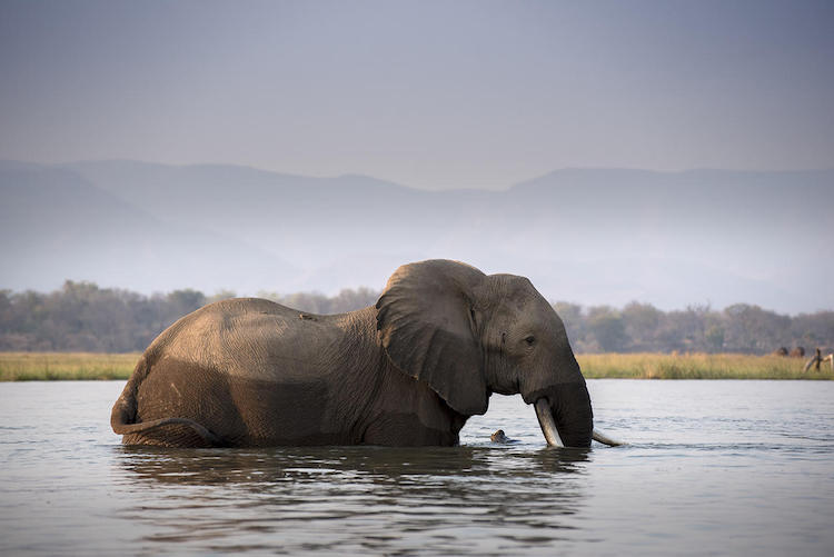 Elephant, Mana Pools