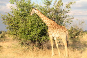 Thornicroft Giraffe