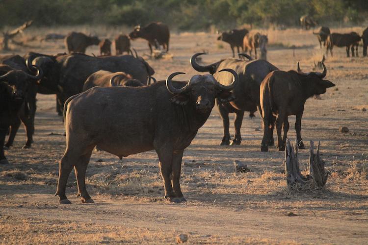 cape buffalo, south luangwa