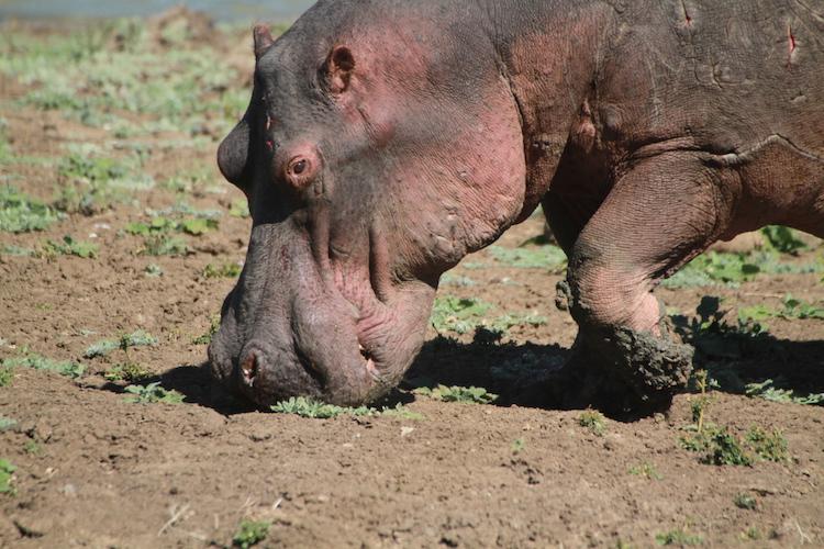 Hippo, South Luangwa