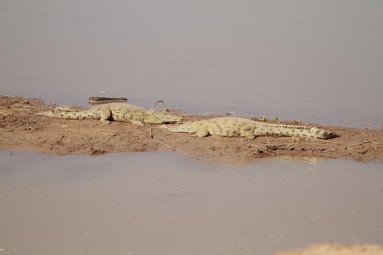 Nile crocodile, South Luangwa