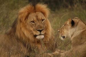 Lions at Hwange