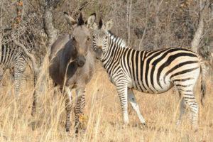 Zebra Matobo hills