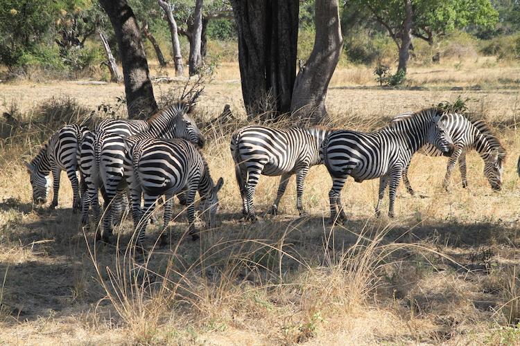 Zebra South Luangwa