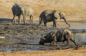 buffalo and elephant