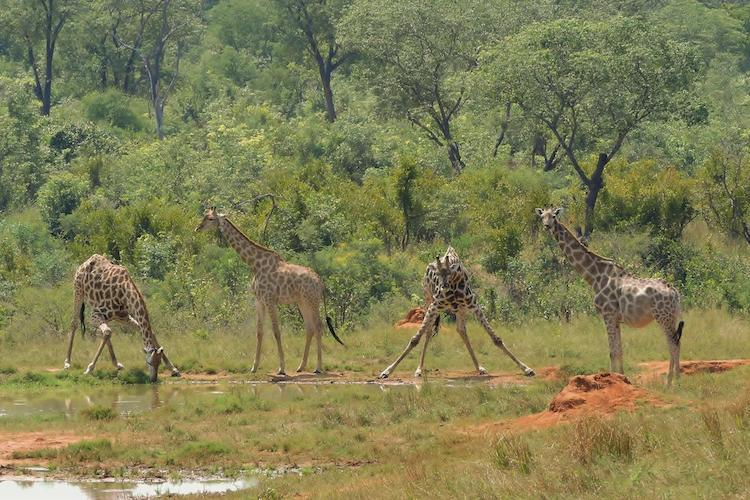 Giraffe at Hwange