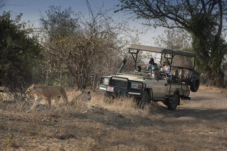 lions, mana pools national park