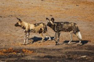 nehimba safari lodge, hwange national park
