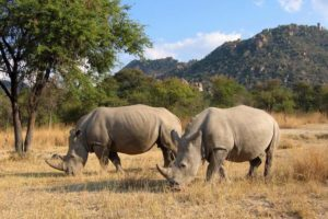 rhino at matobo hills