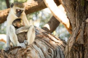 moneky, chobe national park
