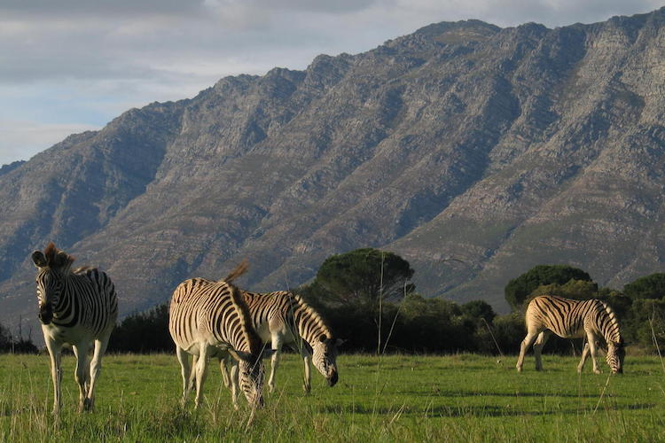 zebras, cape winelands