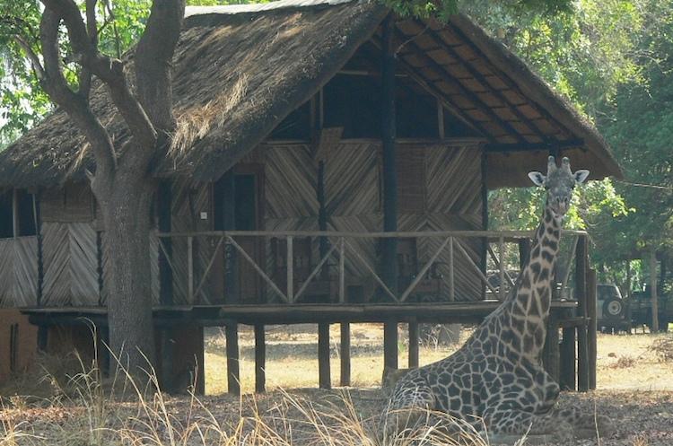 giraffe at croc valley camp